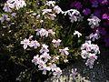 Phlox subulata 'Candy stripe' 1.JPG