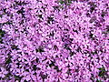 Phlox subulata flowers wide.jpg