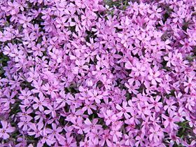 Phlox subulata flowers wide.jpg