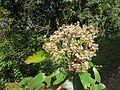 Photinia integrifolia at Mannavan Shola, Anamudi Shola National Park, Kerala (8).jpg