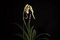 Phragmipedium humboldtii 'Fortuna' (Warsz.) J.T.Atwood & Dressler, Selbyana 19- 246 (1998 publ. 1999) (24914696388).jpg