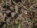 Phyla nodiflora (7202541146).jpg
