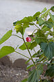 Phymosia umbellata - floraison.jpg