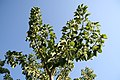 Phytolacca dioica 11zz.jpg