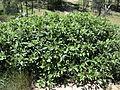 Phytolacca octandra plant1 Carol Rose (14754728168).jpg