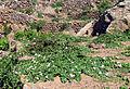 Pianta di capperi (Pantelleria).jpg