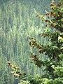 Picea engelmannii foliage cones.jpg