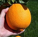 Picking an orange.JPG