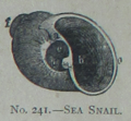 Picture Natural History - No 241 - Sea Snail.png