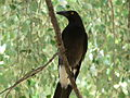 Pied Currawong Beneath.jpg