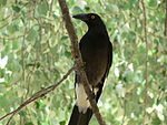 Pied Currawong, an invasive species in Australia