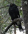 Pied Currawong Tree.JPG