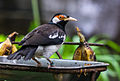 Pied myna (Gracupica contra) on feeder, Gembira Loka Zoo, Yogyakarta, 2015-03-15.jpg