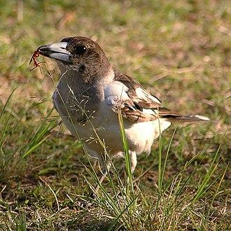 Artamidae - Pied butcherbird (Cracticus nigrogularis)
