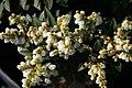 Pieris japonica Sarabande 2zz.jpg