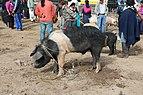 Pig in Otavalo 01.jpg