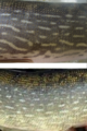 Pike scale - side patterns.tif