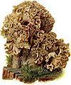 Pilze d. Heimat, T. 34 - Sparassis ramosa.jpg