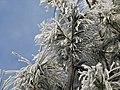 Pin Sylsvestre glacée.JPG
