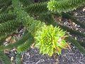 Pinales - Araucaria araucana 3.jpg