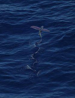 Pink-wing flying fish00.jpg