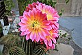 Pink echinopsis super bloom - Flickr - Monkeystyle3000.jpg