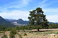 Pinus brutia - Kızılçam 02.JPG