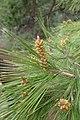 Pinus halepensis kz13 (Morocco).jpg