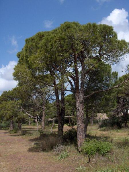 [Resim: 450px-Pinus_pinea%2801%29.jpg]