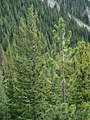 Pinus ponderosa 17037.JPG