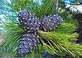 Pinus sibirica Urals1.jpg