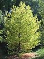 Pinus strobus Hillside Winter Gold 0zz.jpg