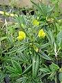 Piptanthus nepalensis.jpg