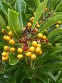 Pittosporum balfourii 02.jpg