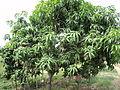 Planta de Mango.JPG