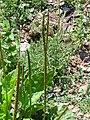 Plantago major Inflorescencias 2010-6-06 SierraMadrona.jpg