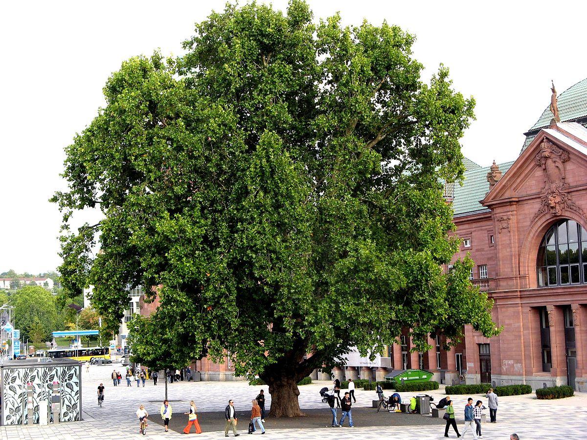 Etwa 100-jährige Ahornblättrige Platane (Platanus ×hispanica) vor dem Wiesbadener Hauptbahnhof