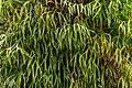 Platycerium bifurcatum - Jardim Botânico da Madeira 01.jpg