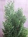 Platycladus orientalis 'Aurea Nana' at Akola.jpg