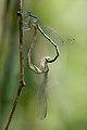 Platycnemis pennipes 5(loz).jpg