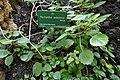 Plectranthus amboinicus-Jardin des Plantes de Paris (1).jpg