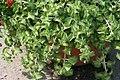 Plectranthus amboinicus 2zz.jpg