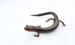 Description de l'image Plethodon richmondi.jpg.