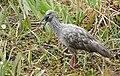 Plumbeous Ibis (Theristicus caerulescens) calling ... (48372976172).jpg