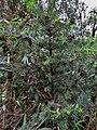 Podocarpus glomeratus.jpg