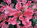 Poinsettia in Centennial Park Conservatory.jpg