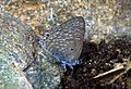 Pointed Ciliate Blue Anthene lycaenina UN by Dr. Raju Kasambe 1234.jpg