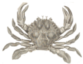 Polybius-henslowii.png