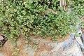 Polycarpon tetraphyllum kz1.jpg