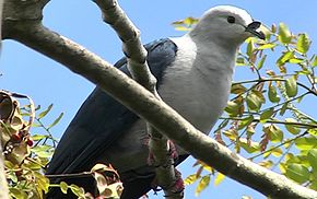 Description de l'image Polynesian Imperial Pigeon.jpg.